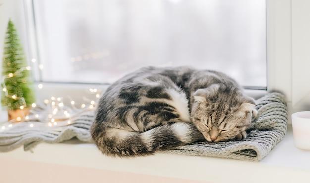 Gato scottish fold dorme no parapeito de uma janela em um dia de inverno