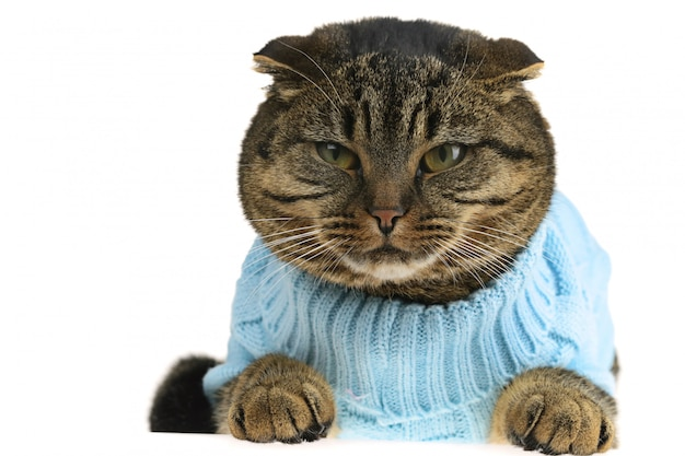 Gato scottish fold em roupas