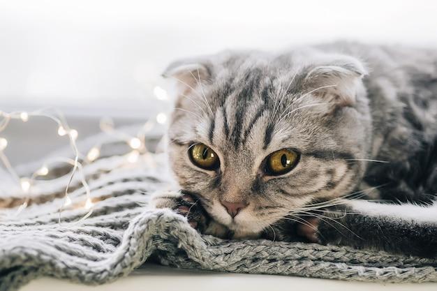 Gato scottish fold em um dia de inverno deitado no peitoril da janela