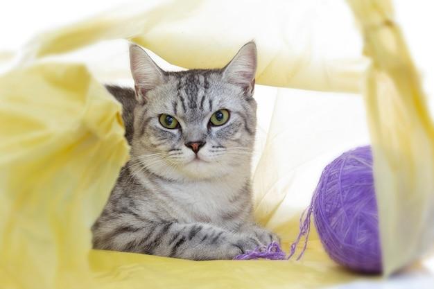 Gato scottish fold jogando no saco de plástico com bola sozinho