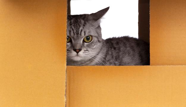 Gato scottish fold jogando sozinho na caixa de papel