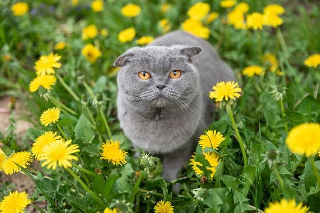 Gato scottish fold na primavera em uma clareira de flores-leão