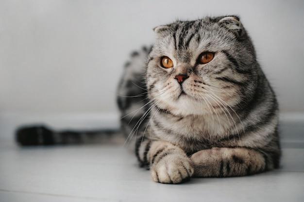 Gato scottish fold no chão