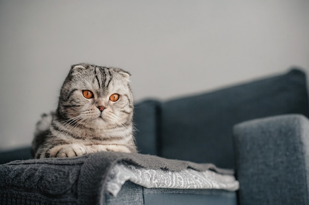 Gato scottish fold no sofá