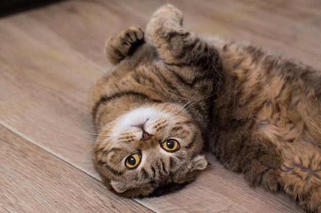 Gato scottish fold olhando enquanto rola no chão em casa