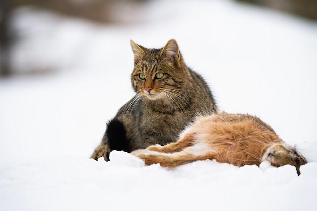 Gato selvagem europeu com lebre morta sentado na neve assistindo