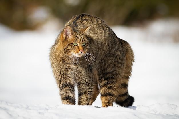 Gato selvagem europeu com pelo fofo se protegendo na neve do inverno