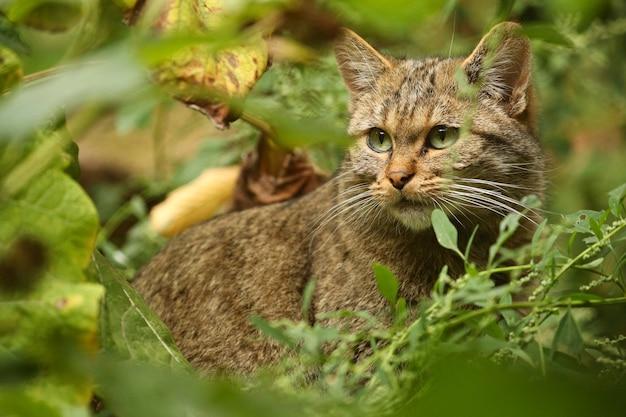Gato selvagem europeu em belo habitat natural