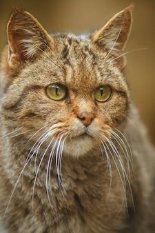 Gato selvagem europeu em um belo habitat natural animal muito raro e ameaçado de extinção felis silvestris animais selvagens da eurasiática vida selvagem europeia gatos selvagens