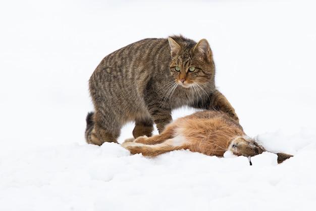 Gato selvagem europeu, felis silvestris, caçando no prado na natureza do inverno.