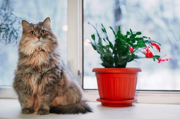 Gato senta-se no parapeito da janela e pisca um olho. gato cinzento no peitoril da janela. vaso de gato e flor. gato muito importante
