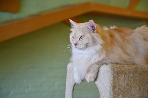 Gato sentado no brinquedo de gato.