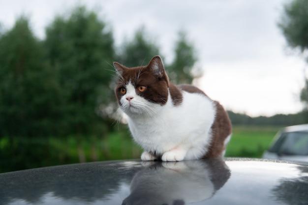 Gato séria e fofa de cabelos curtos britânicos está sentada no teto de um carro em um dia chuvoso
