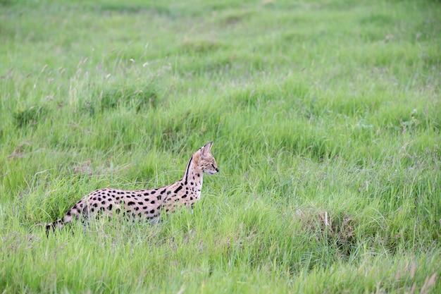Gato serval na pastagem da savana no quênia
