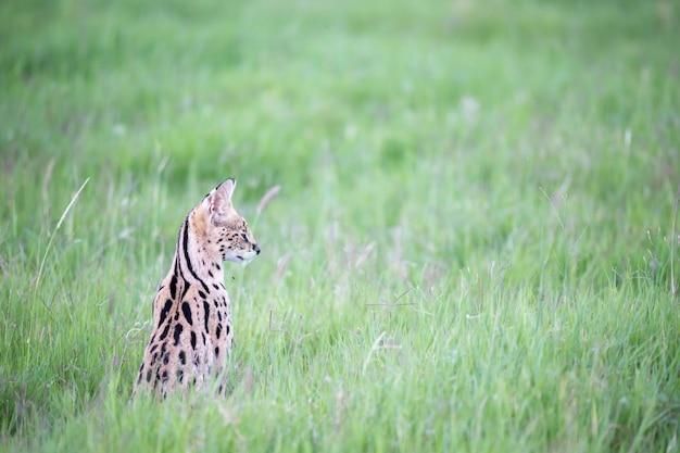 Gato serval nas pastagens da savana no quênia