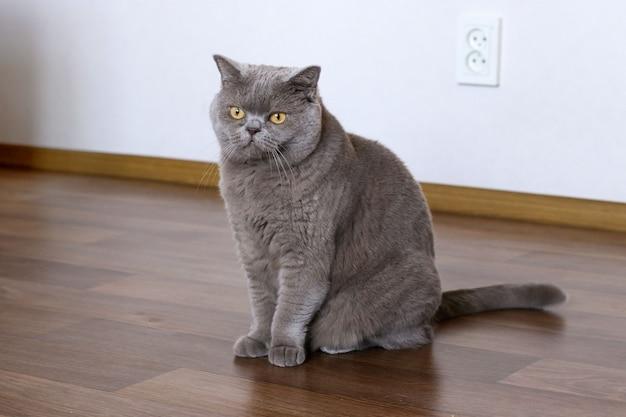 Gato shorthair britânico elegante, sentado no chão