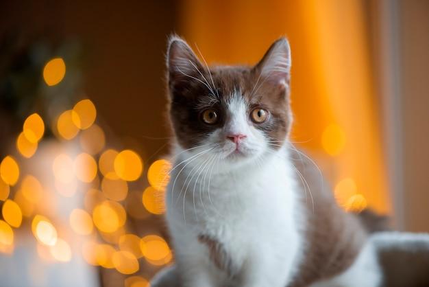 Gato shorthair britânico na luz colorida bokeh