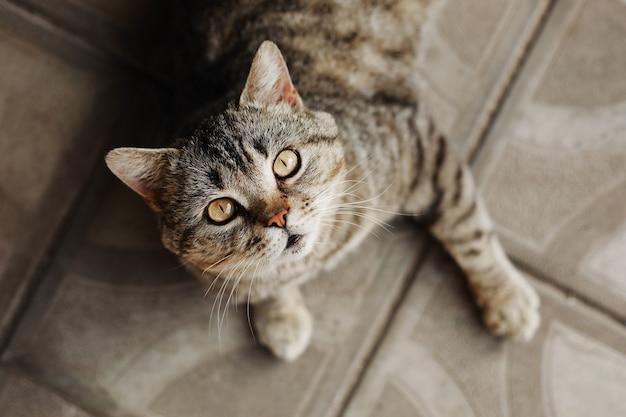 Gato shorthair britânico puro-sangue deitado, olhando para a câmera. gato de estimação adorável fofo