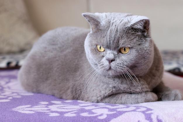 Gato shorthair britânico senta-se em uma cama e olha em volta