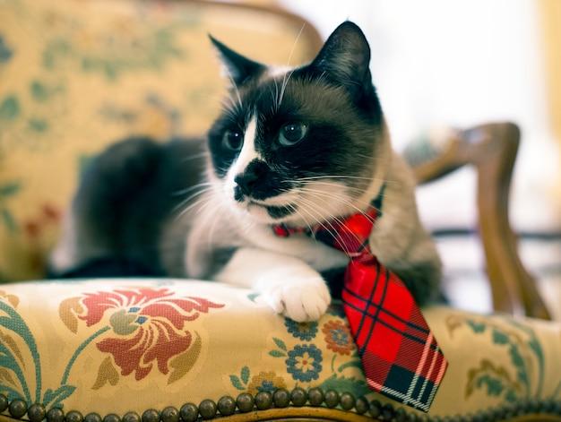 Gato siamês com gravata