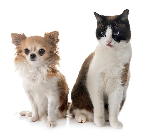 Gato siamês e chihuahua