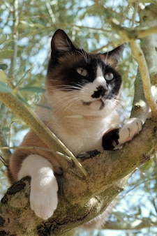Gato siamês em uma árvore