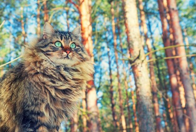 Gato siberiano caminhando na floresta de pinheiros