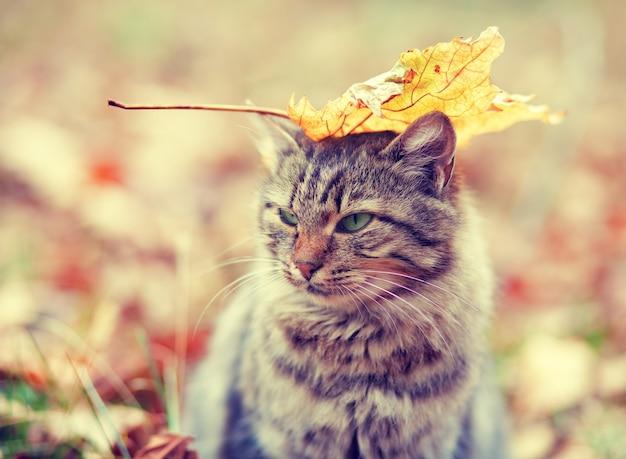 Gato siberiano com uma folha na cabeça sentado na floresta de outono