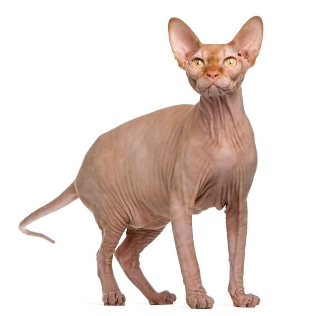 Gato sphynx, 8 meses de idade. retrato de gato isolado