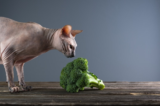 Gato sphynx come brócolis