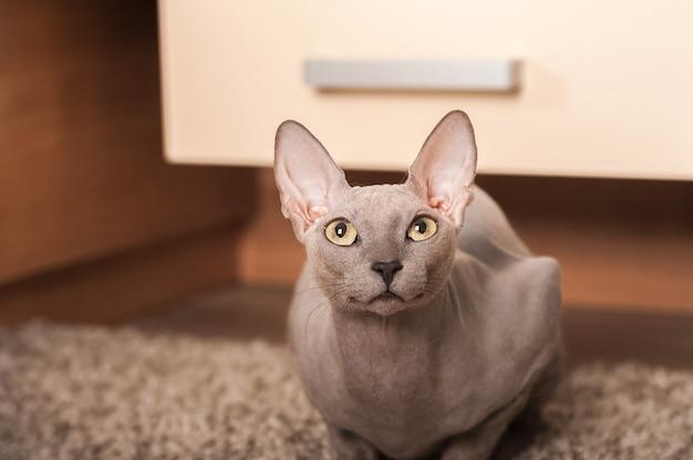 Gato sphynx em casa. retrato do close up de um gato de esfinge cinzento em casa.