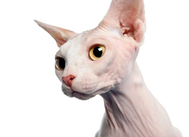 Gato sphynx, na frente de fundo branco, tiro do estúdio