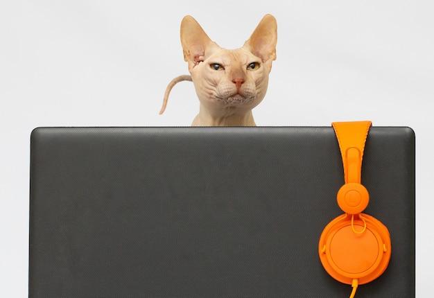 Gato sphynx sem pêlo com laptop e fones de ouvido, isolado no branco