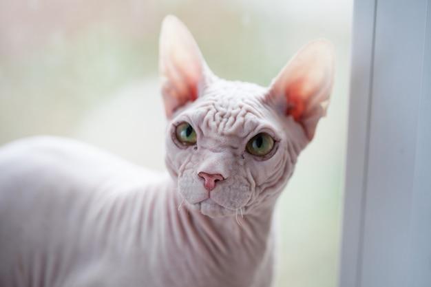 Gato sphynx sem pêlos com olhos verdes em uma janela.