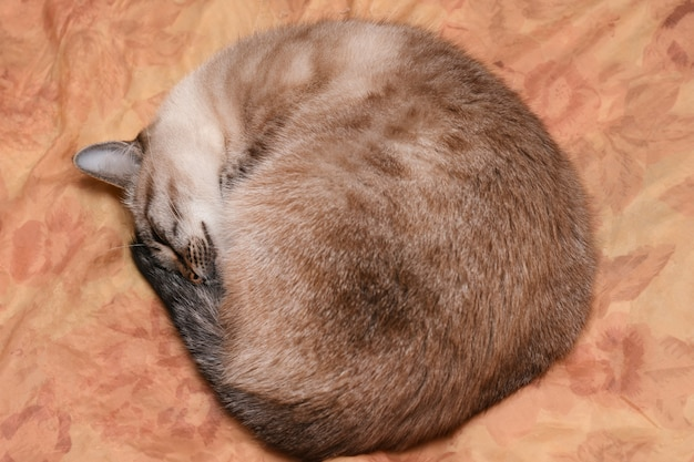 Gato tailandês dorme enrolado em uma bola no tempo gelado