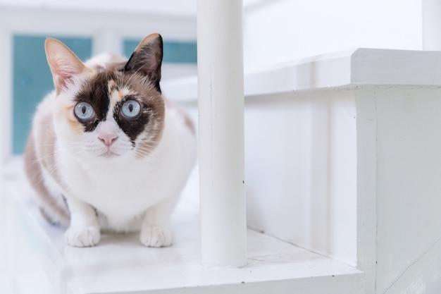 Gato tailandês eyed azul que encontra-se na escadaria branca.