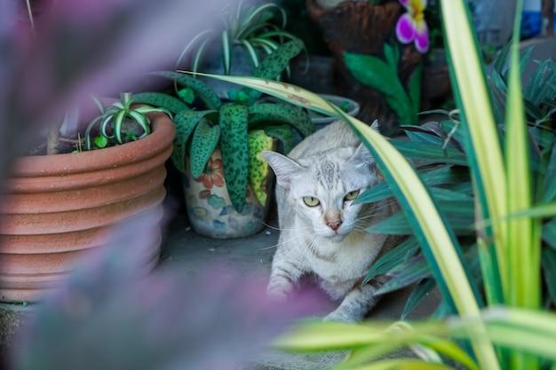 Gato tailandês, teste padrão marrom do tigre, no jardim.