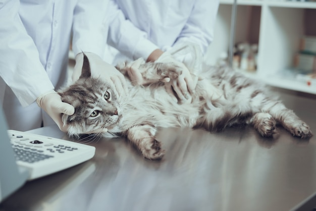 Gato, tendo, ultrasonografia, varredura, gravidez, verificação