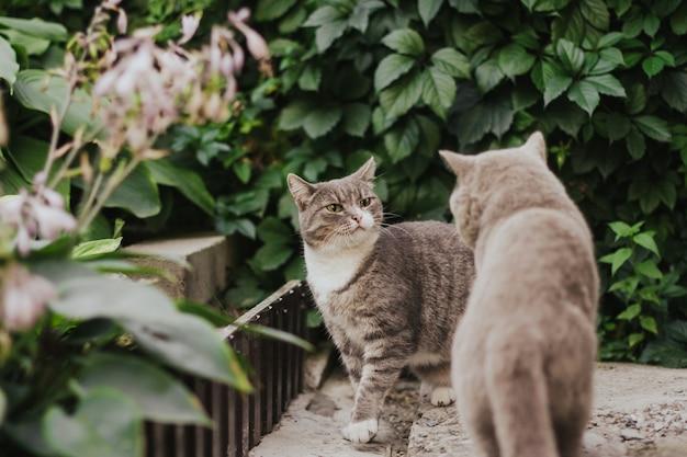 Gato tigrado cinzento com raiva está pronto para atacar um gato cinzento