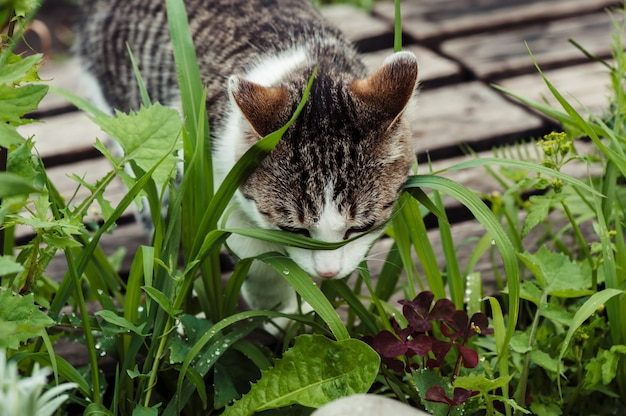 Gato tigrado em close-up da grama verde