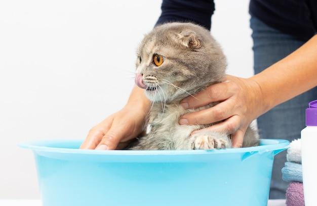 Gato tomando banho, close-up. mãos femininas lavando o gato. shampoo na cabeça do gato cinza
