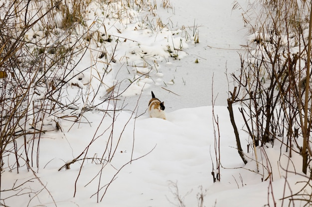 Gato tricolor em vermelho e preto caminhando em um terreno coberto de neve perto de uma floresta ou parque, animais domésticos na selva