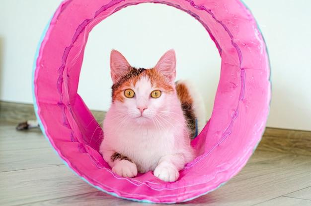 Gato tricolor joga no túnel. jogos em casa com um animal de estimação.