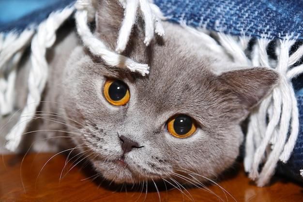 Gato triste sob o manto