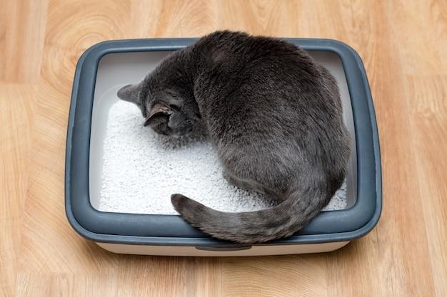 Gato usando banheiro, gato na caixa de areia, para fazer cocô ou urinar, fazendo cocô no banheiro de areia limpa.