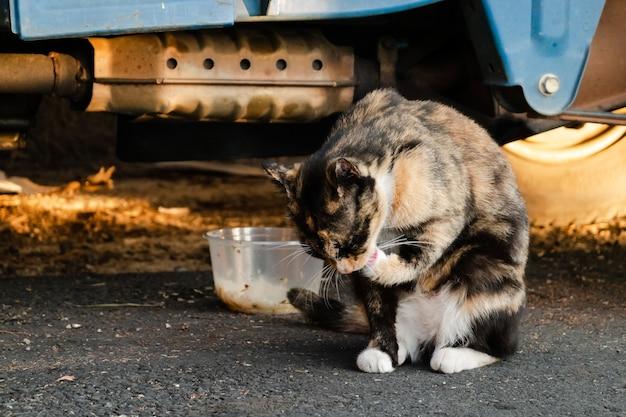 Gato vadio de tartaruga comendo comida na rua