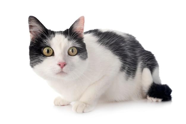 Gato vadio na frente de um fundo branco