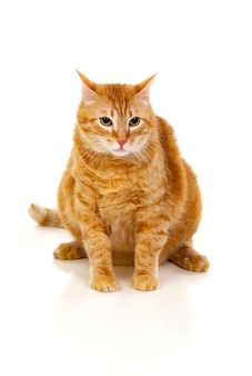 Gato vermelho adulto