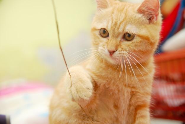Gato vermelho bonito jogando um pedaço de pau no colchão