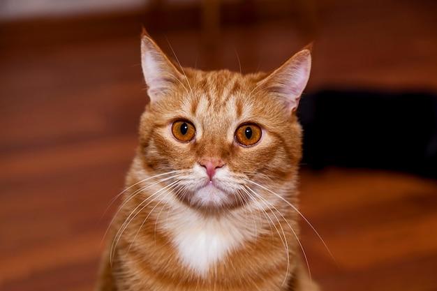 Gato vermelho com focinho engraçado e olhos grandes e redondos em close